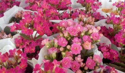 São Luís recebe XI Festival de Flores de Holambra