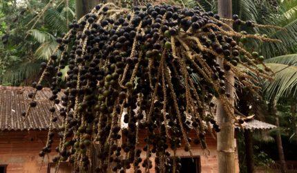Juçara, o fruto que vira ouro no Maracanã