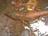 Aparecimento de jacarés é comum na capital maranhense