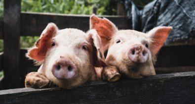 Controle da peste suína africana na China segue difícil