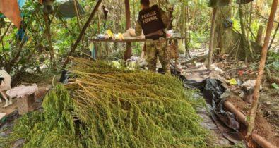 Operação da Polícia Federal destrói mais de 90 mil pés de maconha no Maranhão