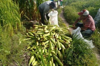 Agricultores beneficiados pelo Mais Sementes começam a colher a safra